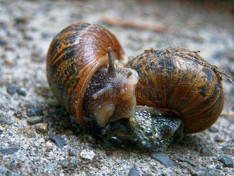 Two garden snails mating on a garden path. Mating garden snails, two garden snails entwined and actively mating - very vulnerable to predation at this stage royalty free stock photo