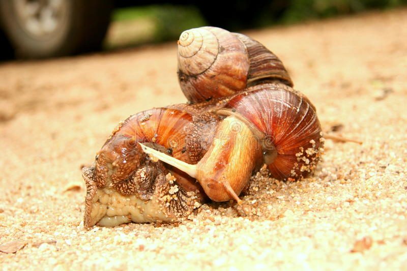 Mating Garden snails. These mating snails were in the Sabi Sands Game Reserve. They were near my house in the garden royalty free stock images