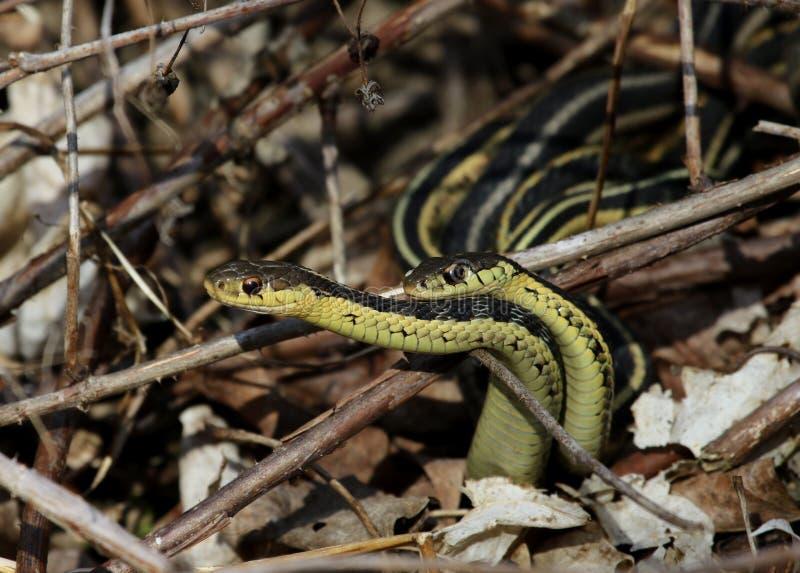 Mating Garter Snakes stock photos