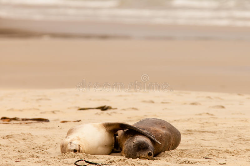 Mating Hookers sealions taking a nap on beach royalty free stock photography
