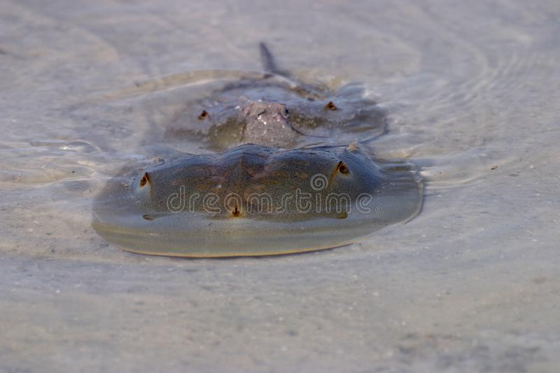 Mating Horseshoe Crabs in Fort De Soto State Park, Florida. royalty free stock photos
