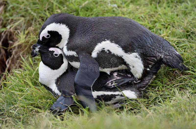 Mating Penguins (Spheniscus demersus) (African penguins). stock images