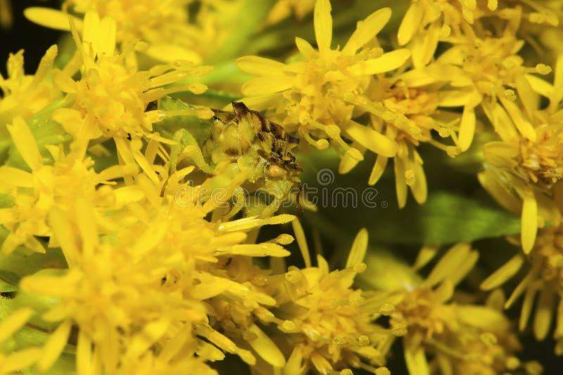 Mating Jagged Ambush Bugs. Royalty Free Stock Photo
