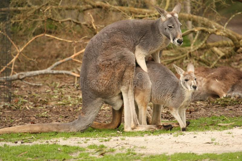 Mating Kangaroos royalty free stock images