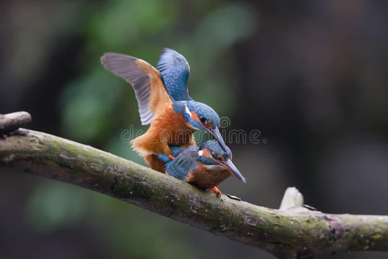 Download Mating Kingfishers Royalty Free Stock Photos - Image: 13669828