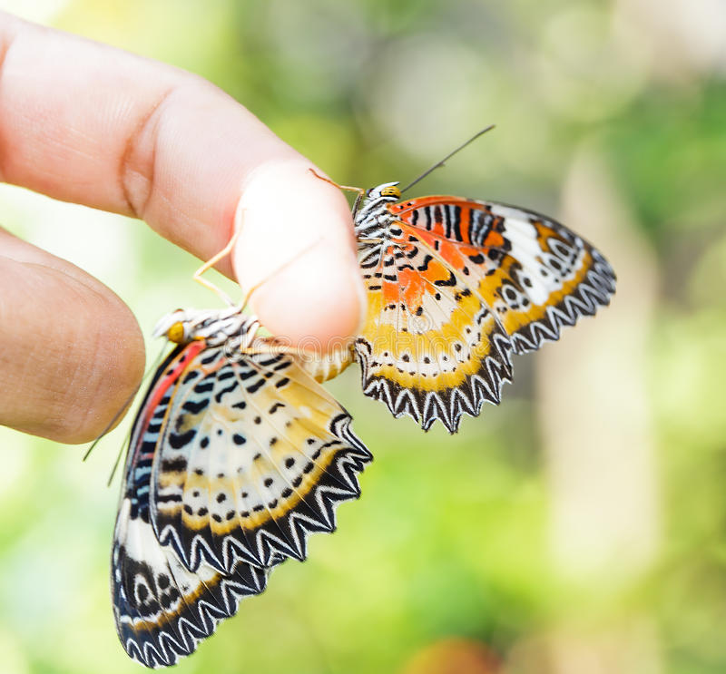 Mating Leopard lacewing & x28;Cethosia cyane euanthes& x29; butterfly hang. Ing on human finger stock photos