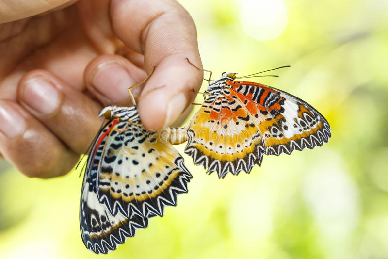 Mating Leopard lacewing & x28;Cethosia cyane euanthes& x29; butterfly hang. Ing on human finger royalty free stock photos