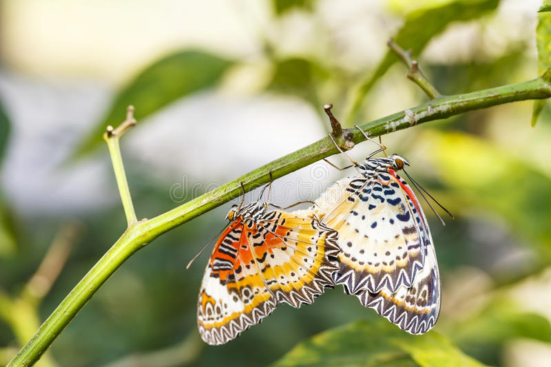 Mating Leopard lacewing & x28;Cethosia cyane euanthes& x29; butterfly hang. Ing on plant royalty free stock image