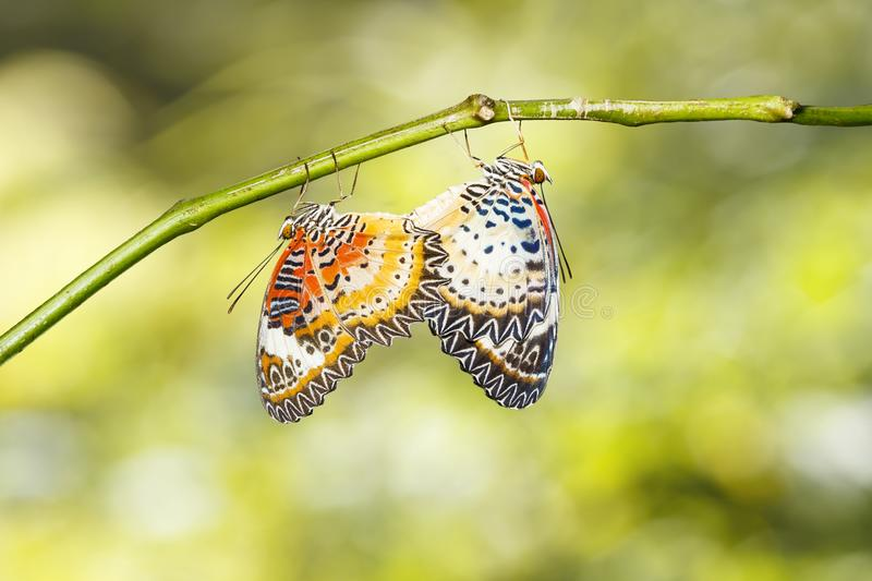 Mating Leopard lacewing Cethosia cyane euanthes butterfly hang. Ing on twig stock photo