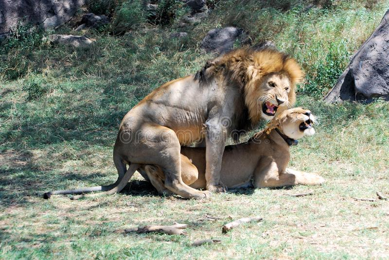 Serengeti national Park, Mating lion and lioness, Tanzania. Mating, loving lion and lioness (with transmitter) in grass with rocks in Serengeti stock images