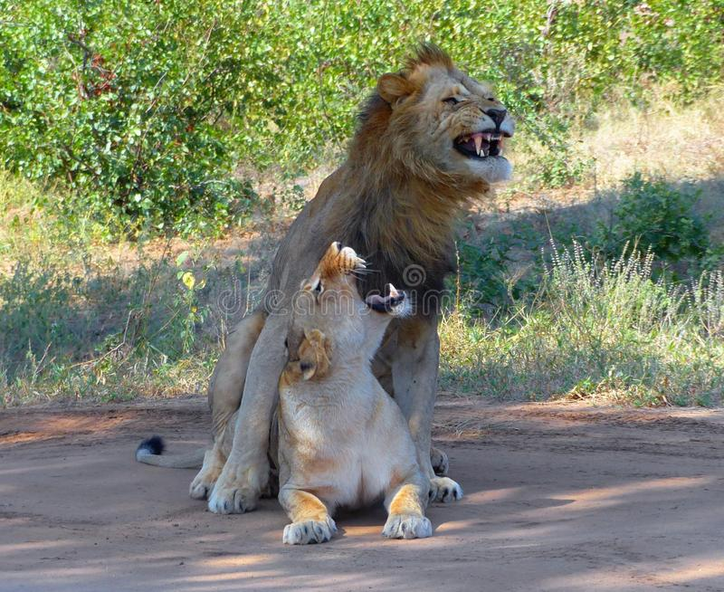 Mating lions couple displaying aggressive expressions. A male and a female lion display aggressive expressions at their faces after mating in the shadow on a tar stock photos
