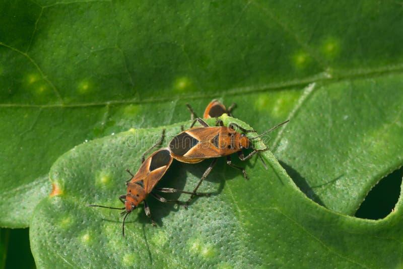 Download Mating Milkweed Bugs stock photo. Image of animal, heteroptera - 63190700