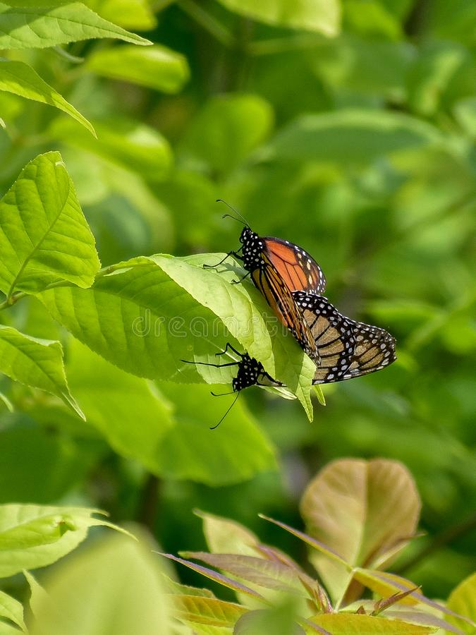 Mating of the Monarch Butterflies royalty free stock images