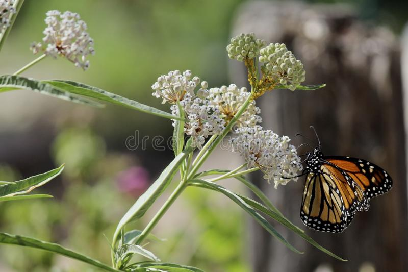 Mating Monarch butterflies flower royalty free stock photography