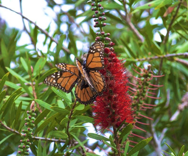Mating Monarch Butterflies stock photos