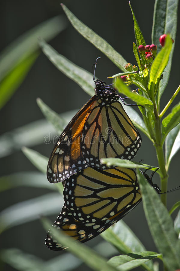 Mating Monarchs royalty free stock image