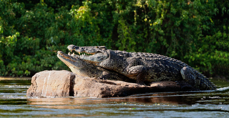 Mating Nile crocodiles (Crocodylus niloticus). stock image