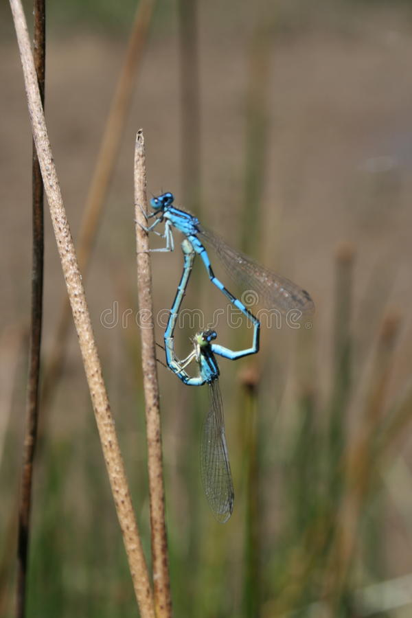 Mating pair common blue Damselfy royalty free stock photo