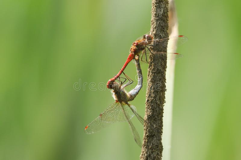 A mating pair of Common Darter Dragonfly Sympetrum striolatum perched on a bulrush in the UK. A mating pair of pretty Common Darter Dragonfly Sympetrum stock image
