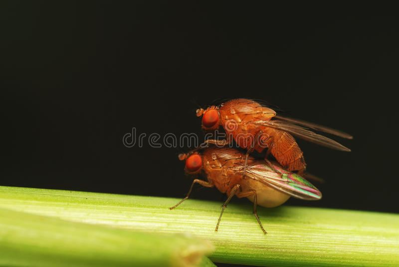 Download Mating pair of fly stock image. Image of green, outdoor - 12912331