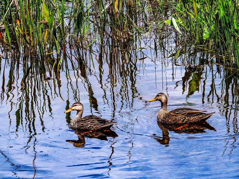 Mating pair of Mottled Ducks, on the hunt in a Florida Everglades marsh pond. This mating pair of mottled ducks live and feed in this marsh pond, located within royalty free stock photo