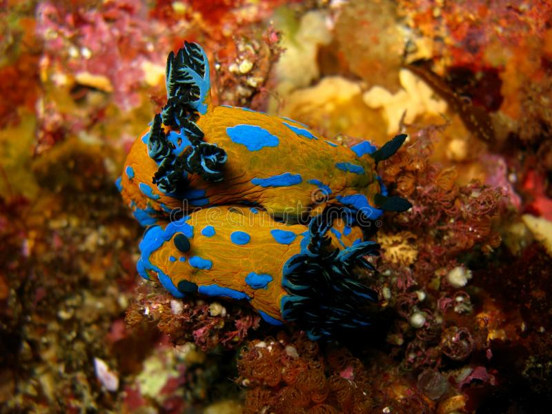 Mating pair of nudibranchs royalty free stock photo