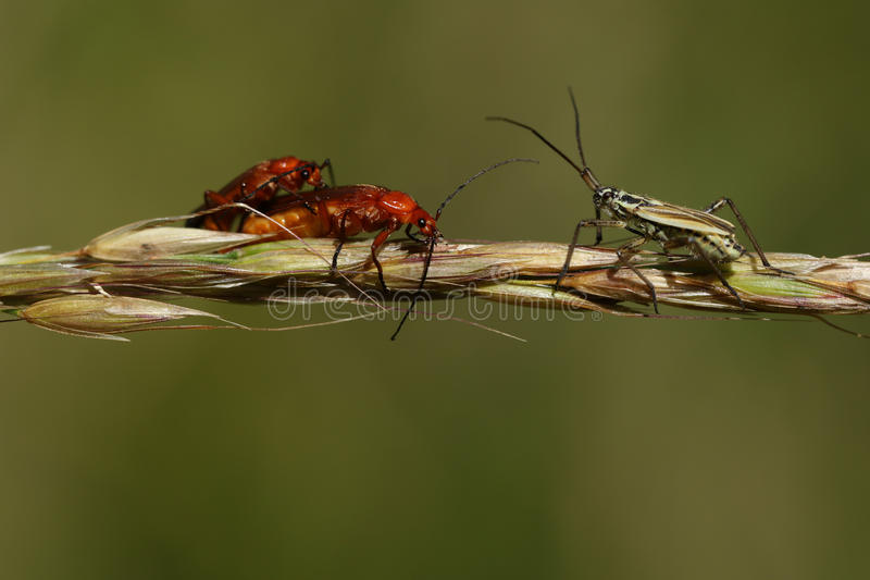 A mating pair of Red Soldier Beetle (Rhagonycha fulva) and a meadow plant Bug (Leptopterna dolabrata ). stock images