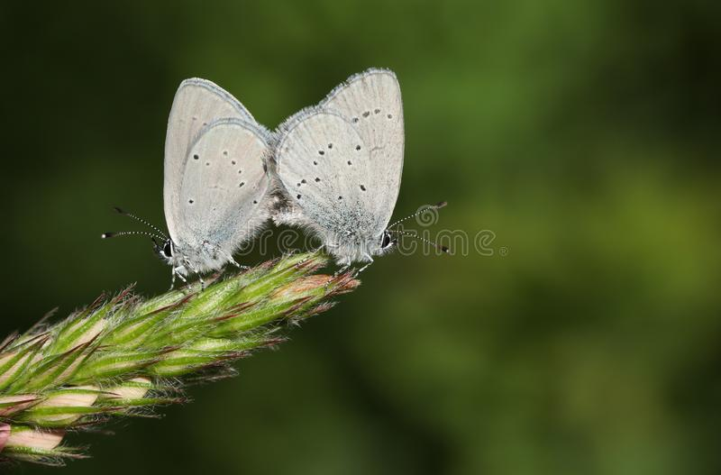 A mating pair of rare Small Blue Butterfly, Cupido minimus, perching on the tip of a Sainfoin, onobrychis, flower. royalty free stock image