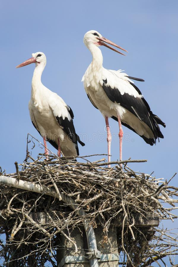 Mating pair of white storks in vertical picture stock images