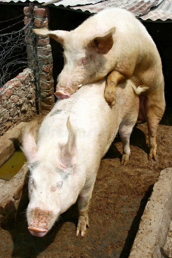 Download Mating Pigs stock photo. Image of breeding, bacon, snout - 2869398