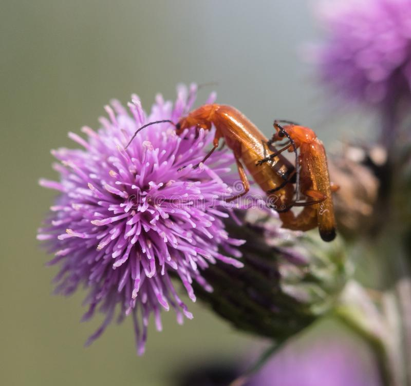 Mating Red Soldier Beetles stock photography