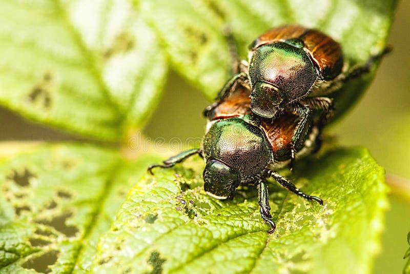 Mating season royalty free stock images