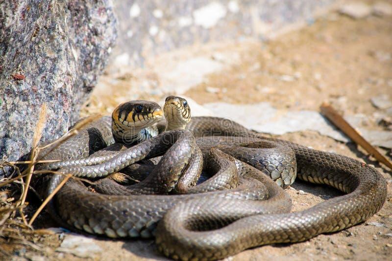 Mating season royalty free stock photos