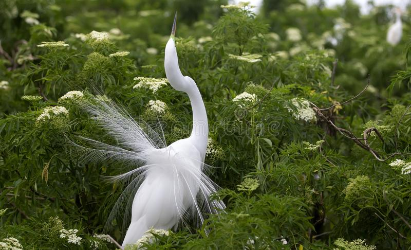Mating Snowy Egret Plumage Florida. Snowy egret Egretta thula in Florida with plumage out for display stock photography