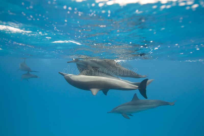 Download Mating Spinner Dolphins In The Wild. Royalty Free Stock Images - Image: 16229529