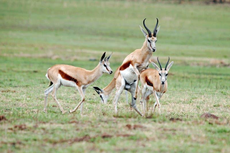 Mating Springboks stock photography