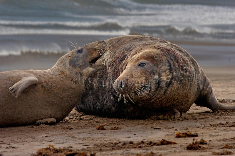 Download Mating time for Seals stock image. Image of female, seals - 28343495