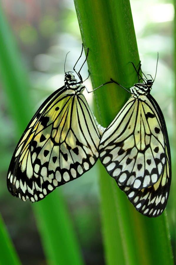 Download Mating Tree Nymphs,aka,Idea Leuconoe Stock Photo - Image: 24317890