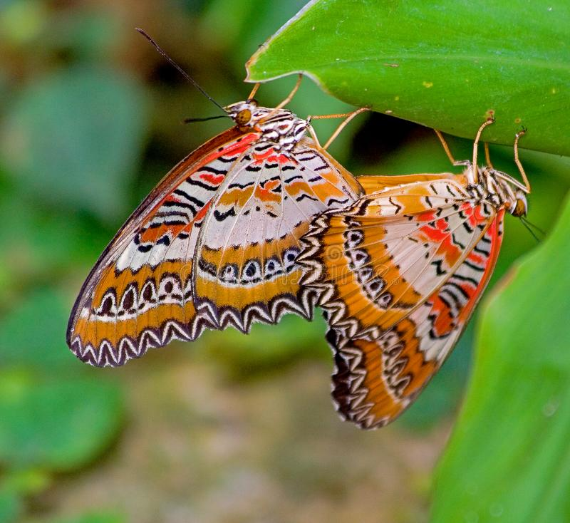 Mating between two orange-white butterflies stock images