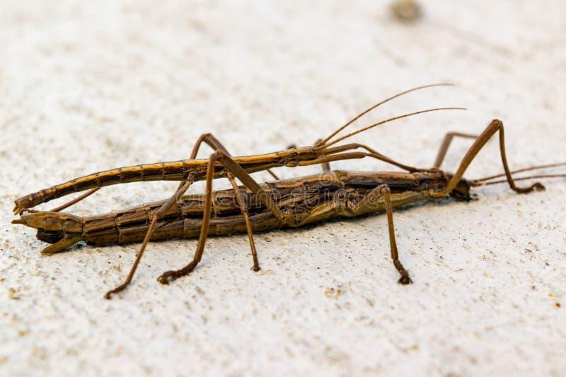 Mating Walking Sticks stock image