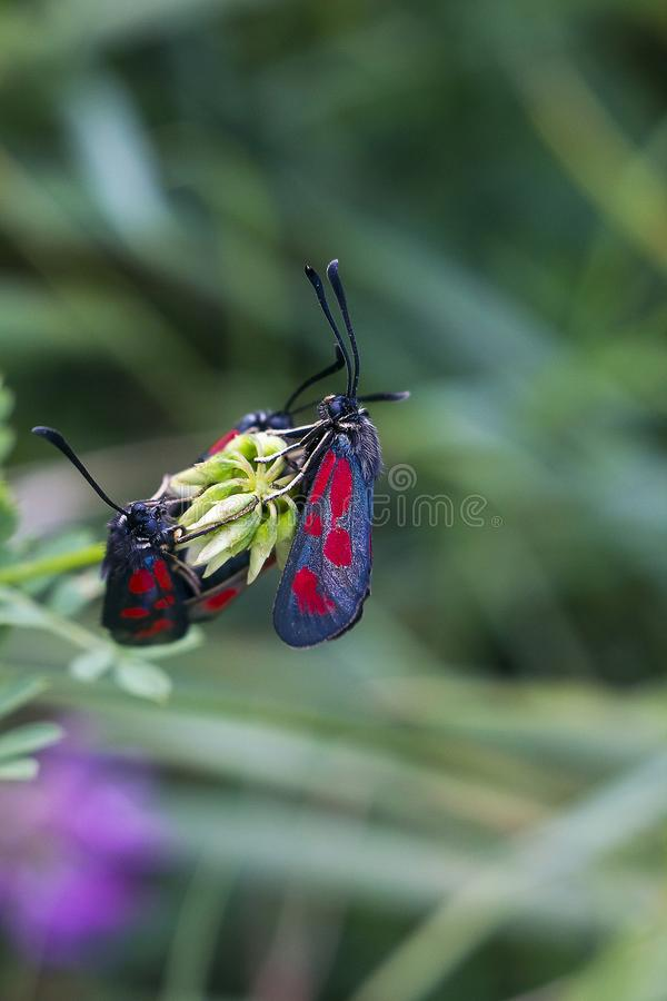 Mating of Zygaena trifolii butterflies on plant. Gray butterfly with red spots Six-spot burnet. Mating of Zygaena trifolii butterflies on flower royalty free stock images