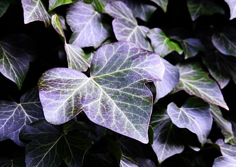 Matiz de Ivy Leaves With Natural Purple imagens de stock