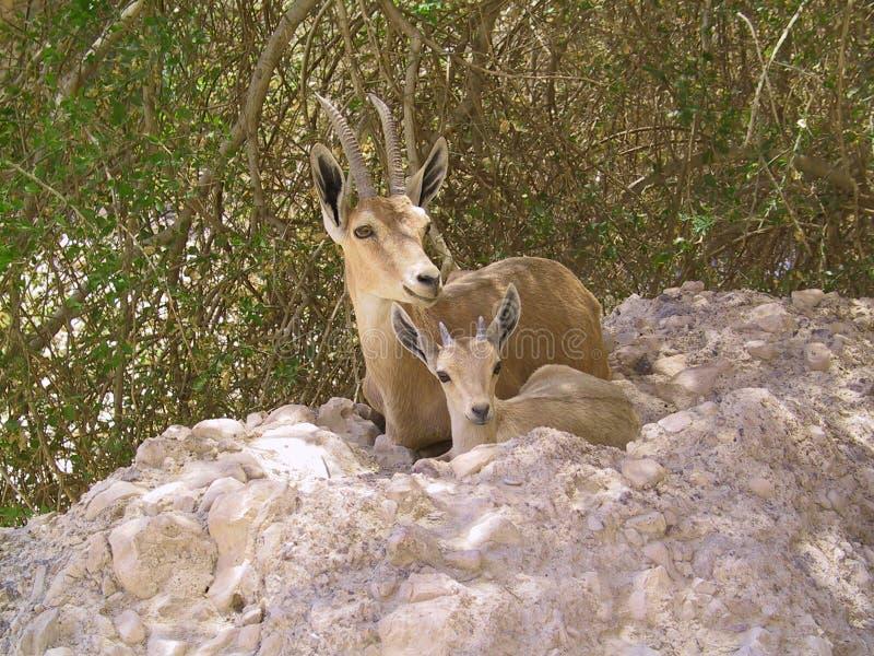 matka dzieciaka ibex zdjęcia stock