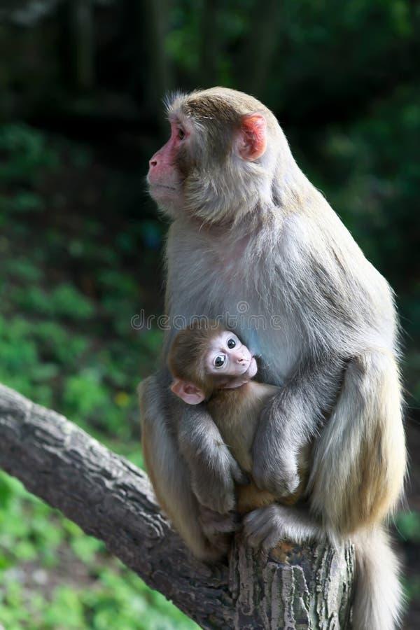 matka dziecka małp obrazy royalty free