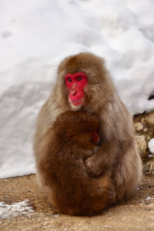 Matka i dziecko Japońskie makaki małpa śnieżna w Jigokudani Monkey Park w Japonii obrazy royalty free