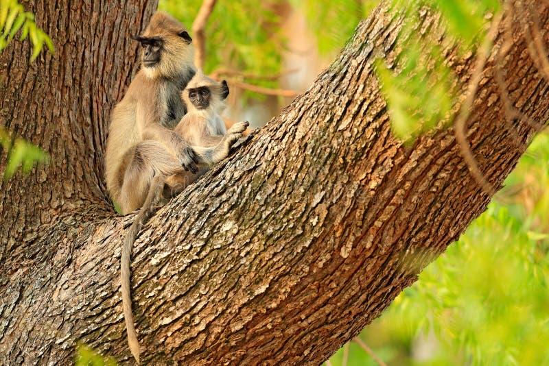 Matka i potomstwa, na drzewie Przyroda Sri Lanka Pospolity Langur, Semnopithecus entellus, małpa na pomarańczowym ceglanym domu, zdjęcie royalty free
