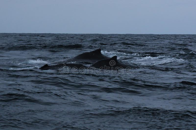 Matki i dziecka humback wieloryb, megaptera novaeagliae fotografia stock