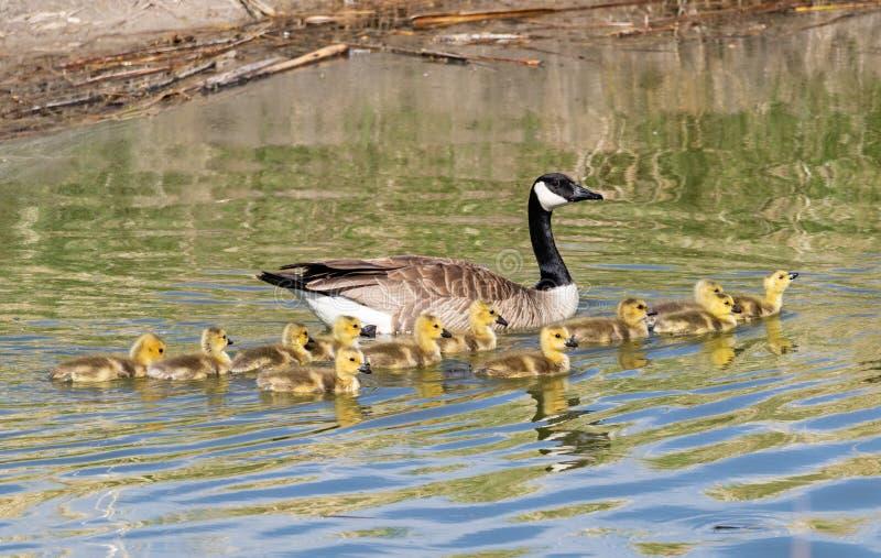 Matki i dziecka Kanada gąski zdjęcie royalty free