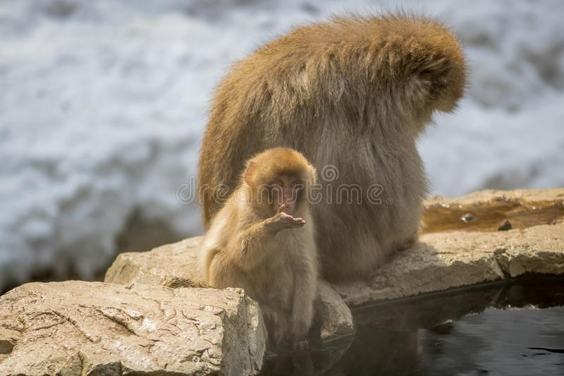 Matki I dziecka małpy, Nagano Japonia obraz stock