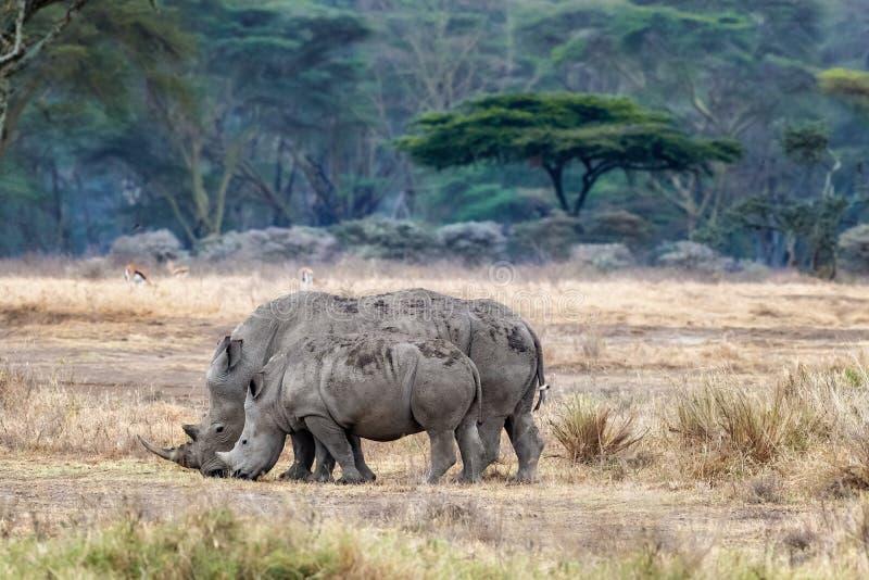 Matki i dziecka nosorożec w gorączkowego drzewa lesie Jeziorny Nakuru zdjęcie stock